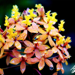 Five Star Orchid by Edwin Rogers